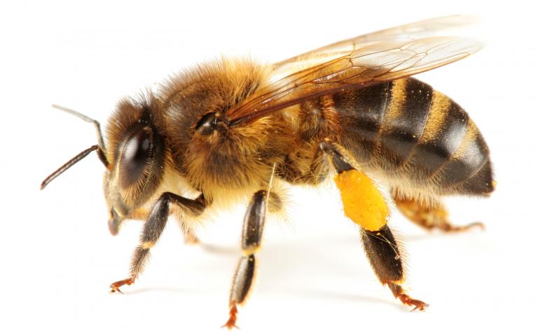 Bee sting vaccine trial holds promise in allergic adults