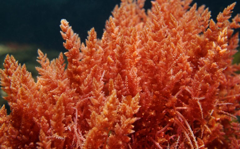 red algae component shows benefit in COVID